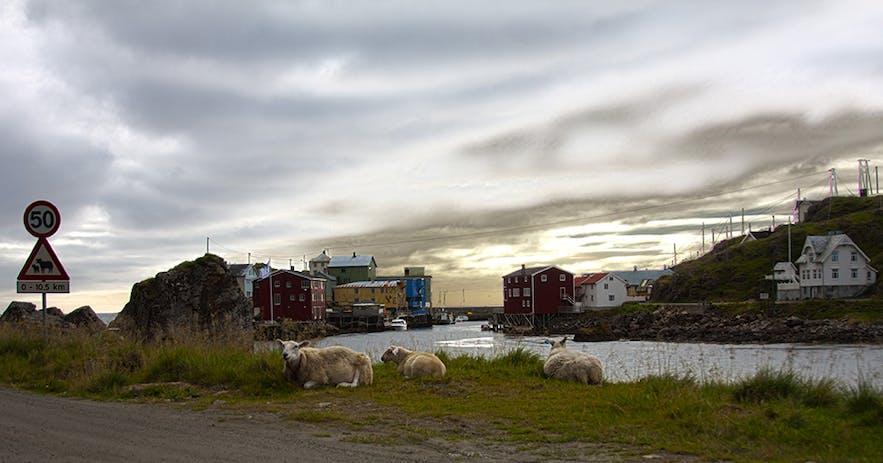 Nyksund sheep