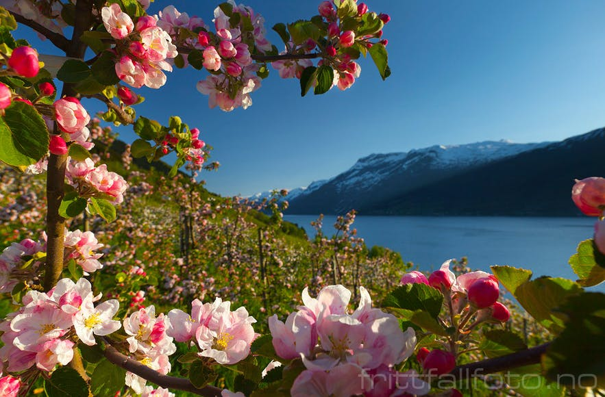 Beautiful Hardanger spring