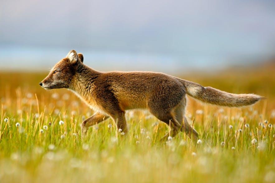 arctic fox norway