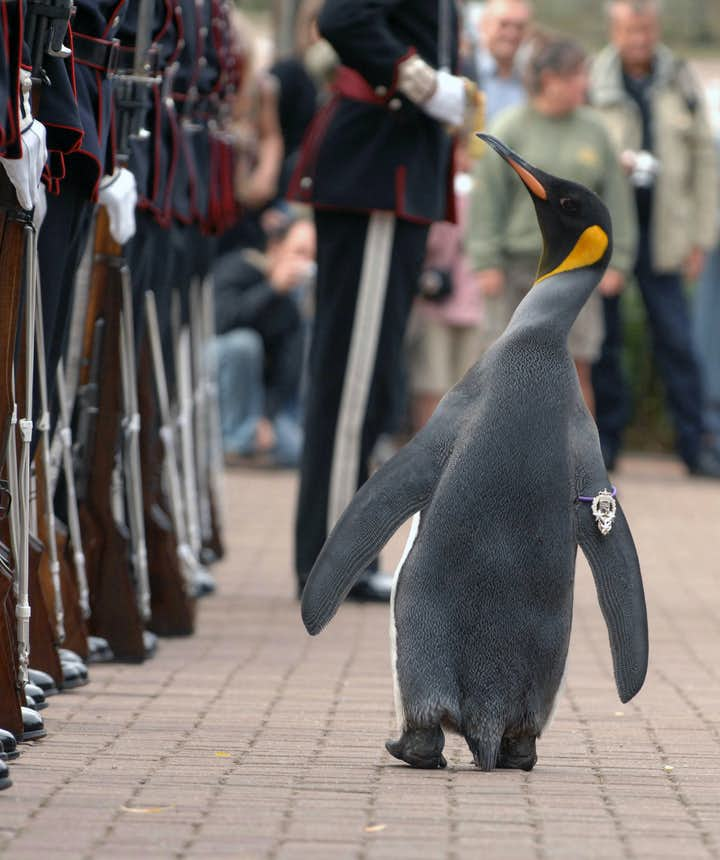 Nils Olav inspects his troops