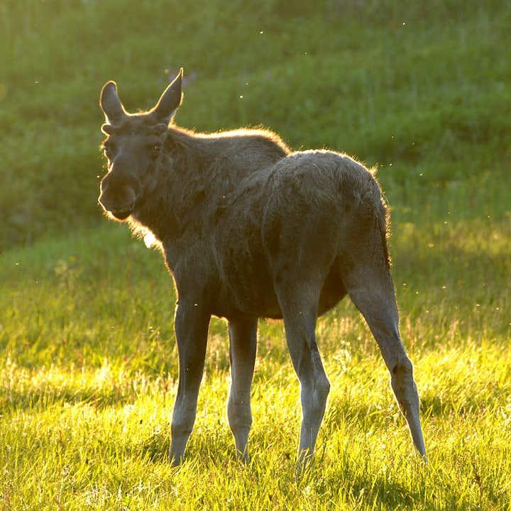 Meet the Friendly Moose on Bodø Moose Safari Day Trip